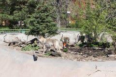 Lobos en una jaula en el parque zoológico de Moscú Imágenes de archivo libres de regalías