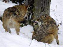 Lobos europeos en invierno Imágenes de archivo libres de regalías