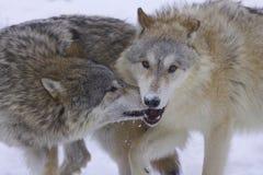 Lobos grises o árticos Imagen de archivo libre de regalías