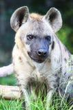 Lobos, hienas Imagens de Stock