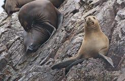 Lobos marinos Fotografía de archivo libre de regalías