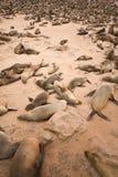 Lobos marinos fotos de archivo