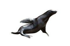 Lobos marinos Fotos de archivo libres de regalías