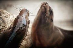 Lobos marinos Imagenes de archivo