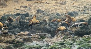 Lobos marinos australianos imagen de archivo libre de regalías