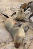Lobos marinos de Brown (pusillus del Arctocephalus) Fotos de archivo