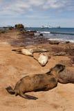 Lobos marinos de las Islas Gal3apagos imagen de archivo