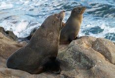 Lobos marinos de Nueva Zelandia Imágenes de archivo libres de regalías