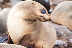 Lobos marinos del cabo Fotografía de archivo libre de regalías