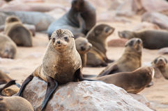 Lobos marinos del cabo Fotos de archivo libres de regalías