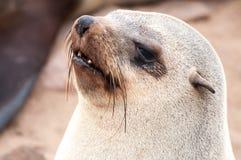 Lobos marinos del cabo Imagenes de archivo