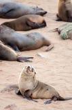Lobos marinos del cabo Foto de archivo libre de regalías