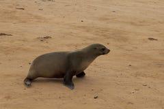 Lobos marinos del cabo Imagen de archivo libre de regalías