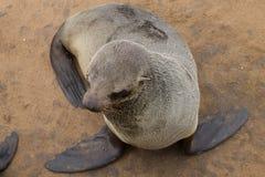 Lobos marinos del cabo Fotografía de archivo