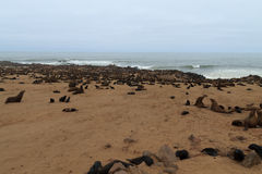 Lobos marinos del cabo Fotos de archivo