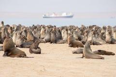 Lobos marinos del cabo en el punto del pelícano Imagen de archivo
