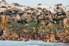 Lobos marinos del cabo en Gansbaai Imagen de archivo