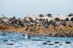 Lobos marinos del cabo en Gansbaai Fotografía de archivo libre de regalías
