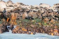 Lobos marinos del cabo en Gansbaai Foto de archivo libre de regalías
