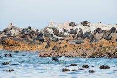 Lobos marinos del cabo en Gansbaai Fotos de archivo