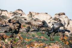 Lobos marinos del cabo en Gansbaai Imágenes de archivo libres de regalías