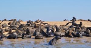 Lobos marinos del cabo en la reserva del sello de la cruz del cabo en Namibia Imágenes de archivo libres de regalías