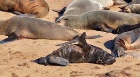 Lobos marinos del cabo en la reserva del sello de la cruz del cabo en Namibia Foto de archivo libre de regalías