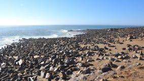 Lobos marinos del cabo en la reserva del sello de la cruz del cabo en Namibia Fotografía de archivo libre de regalías