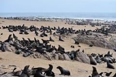 Lobos marinos del cabo, Namibia Imágenes de archivo libres de regalías