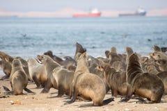 Lobos marinos del cabo que corren hacia el agua Fotos de archivo