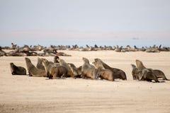 Lobos marinos del cabo que corren para el agua Fotos de archivo