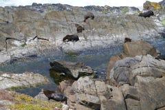 Lobos marinos del lobo marino de Nueva Zelanda Fotos de archivo