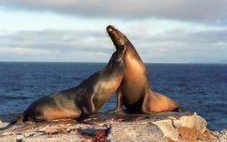 Lobos marinos en amor Imagen de archivo