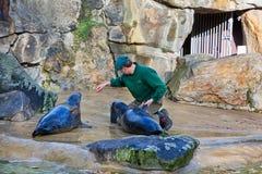 Lobos marinos que alimentan la demostración en un parque zoológico Imagen de archivo libre de regalías