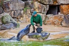 Lobos marinos que alimentan la demostración en un parque zoológico Fotos de archivo libres de regalías