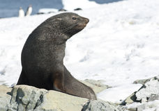 Lobos marinos que se sientan en una roca en la playa. Imagen de archivo libre de regalías