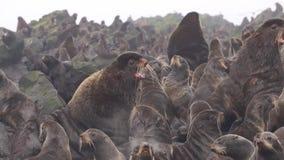 Lobos marinos septentrionales metrajes