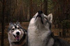 Lobos nas madeiras Fotos de Stock Royalty Free