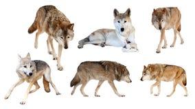 Lobos no fundo branco imagem de stock royalty free