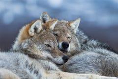 Lobos que afagam Fotografia de Stock