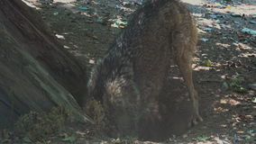 Lobos que cavan en la raíz de un árbol, con el ritual de acoplamiento almacen de metraje de vídeo