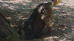 Lobos que cavan en la raíz de un árbol, con el ritual de acoplamiento metrajes