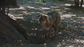 Lobos que cavan en la raíz de un árbol, con el ritual de acoplamiento almacen de video