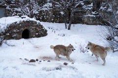 Lobos que luchan Imagenes de archivo