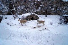 Lobos que luchan Imagen de archivo libre de regalías