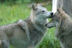 Lobos que obran recíprocamente Fotografía de archivo