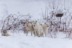 Lobos árticos en invierno Imagenes de archivo