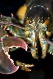 Lobster. Marine life, food and animal Royalty Free Stock Photos