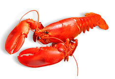 Free Lobster Stock Photos - 18291883