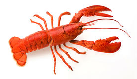 Lobster. A red lobster on a white background